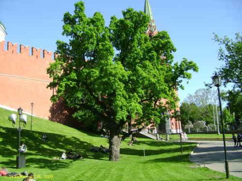 200-летний дуб. Александровский сад (Москва)