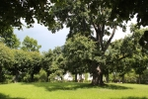 Музей-усадьба А.С.Пушкина «Михайловское». Дерево посаженное в 1899 году сыном поэта Г.А. Пушкиным