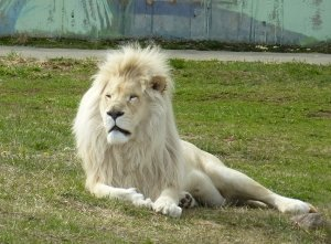 Ярославль. Ярославский зоопарк. Белый лев