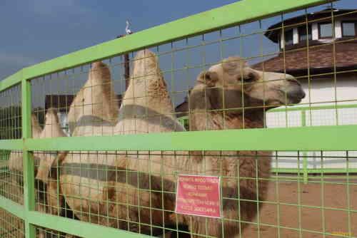 Национальный конный парк «Русь». Верблюд